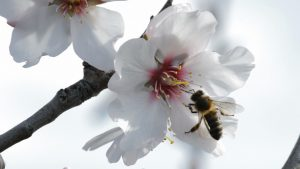 bee in almond blossom